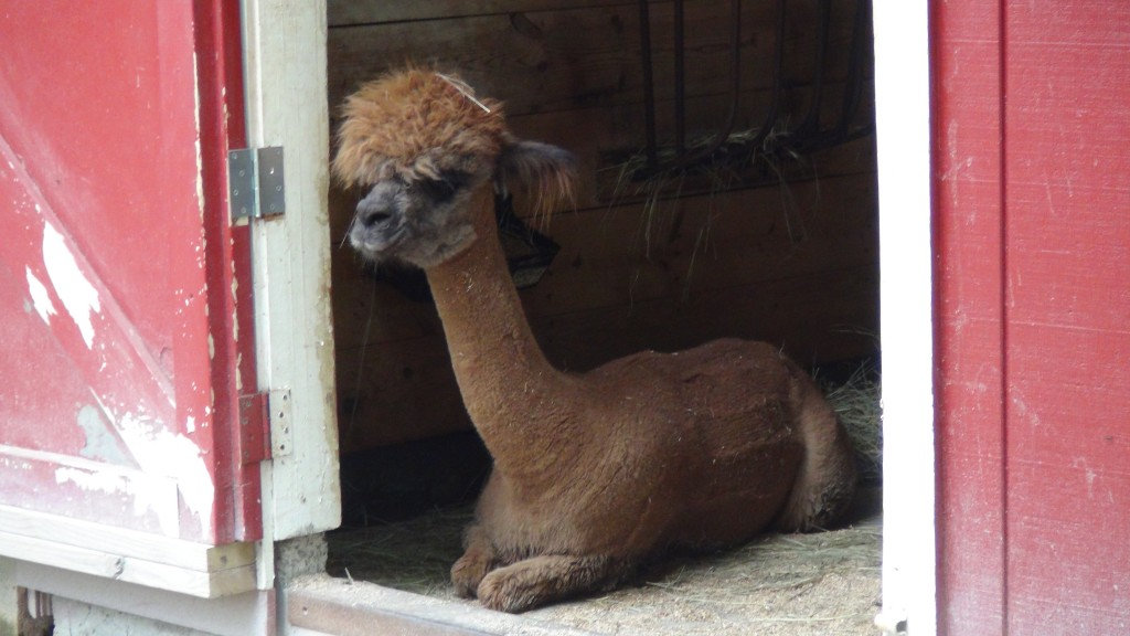 Coolest Alpaca in the ba