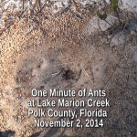 One Minute of Ants at Lake Marion Creek