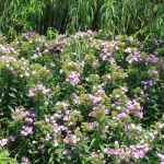 One minute of phlox and butterflies